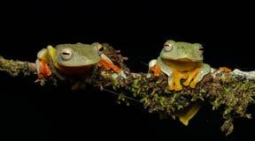 Sp Khao Yai TreefrogRhacophorus , Красивая лягушка, лягушка, древесная лягушка, древесная лягушка на ветви Стоковые Изображения