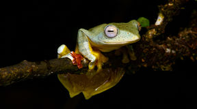 Sp Khao Yai TreefrogRhacophorus , Красивая лягушка, лягушка, древесная лягушка, древесная лягушка на ветви Стоковые Фотографии RF