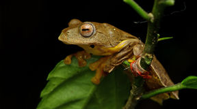 Sp Khao Yai TreefrogRhacophorus , Красивая лягушка, лягушка, древесная лягушка, древесная лягушка на ветви Стоковое Изображение