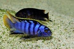 Sp. Mbamba di Labidochromis Fotografia Stock Libera da Diritti