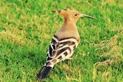 Spłoniony ptak Fotografia Royalty Free