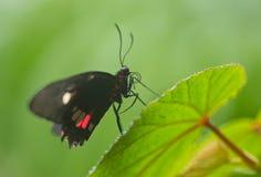 Sp Parides общая бабочка Мормона на зеленой предпосылке природы Стоковые Фото