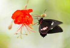 Sp Parides общая бабочка Мормона на красном цветении Стоковые Фото