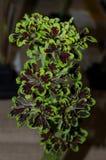 Sp scutellarioides Plectranthus необыкновенный Стоковое Изображение RF