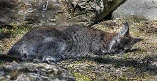 Spać Bennett wallaby zdjęcie stock