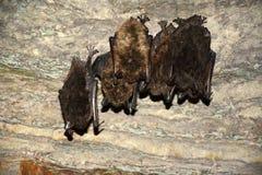 Spać nietoperze na jamy ścianie Obraz Stock