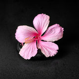 spa background of pink hibiscus flower on zen basalt stone with Royalty Free Stock Photos