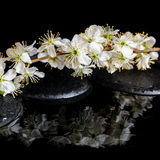 Spa background of zen stones, blooming twig of plum with reflect Royalty Free Stock Images