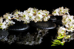 Spa background of zen stones, blooming twig of plum with reflect Stock Image
