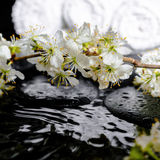Spa background of zen stones, blooming twig plum, white towels w Stock Images