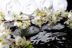 Spa background of zen stones, blooming twig plum, white towels w Stock Photos