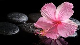 Spa begrepp av den blommande rosa hibiskusen på zenstenar med droppar Arkivbild