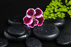 Spa concept with beautiful deep purple flower of geranium Royalty Free Stock Photos