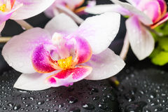 Spa concept of beautiful orchid flower and stones with drops Royalty Free Stock Image