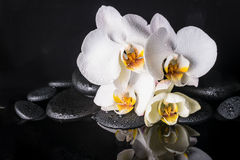 Spa concept of beautiful white with yellow orchid (phalaenopsis) and zen stones with drops and reflection on water stock image