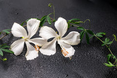 Spa concept of blooming delicate white hibiscus, green twig with Stock Photo