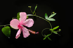 Spa concept  of  blooming pink hibiscus, green tendril Stock Photo