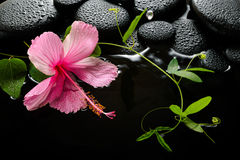 Spa concept  of  blooming pink hibiscus, green tendril Royalty Free Stock Image