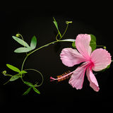 Spa concept  of  blooming pink hibiscus, tendril passionflower Stock Photos