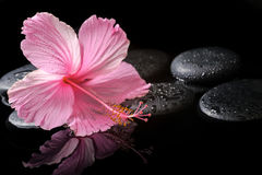 Spa concept  of  blooming pink hibiscus on zen stones with drops Stock Photos
