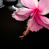 Spa concept  of blooming pink hibiscus and zen stones with drops Royalty Free Stock Image