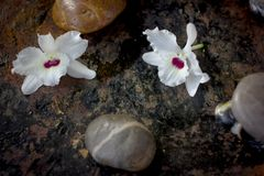 Spa concept - orchid flower with stones for spa therapy.  royalty free stock images