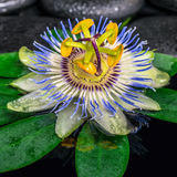 Spa concept of passiflora flower on green leaf, zen basalt stone Stock Images