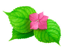 Spa Concept pink Flower with Green Leaf Stock Photos