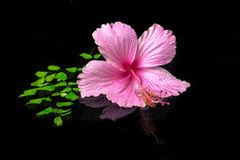Spa concept of pink hibiscus flower on green branch fern with dr. Ops and reflection water, closeup stock photography