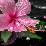 Spa concept of pink hibiscus flower on green leaf with drops on Royalty Free Stock Images
