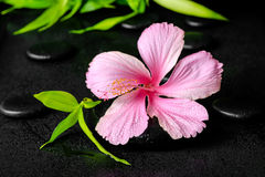 Spa concept of pink hibiscus flower and twig bamboo on zen basal Royalty Free Stock Images