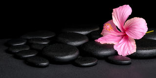 spa concept of pink hibiscus flower on zen basalt stone with drops, panorama royalty free stock image