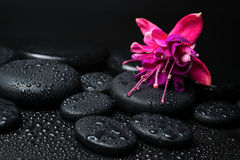 Spa concept of pink with red fuchsia flower and zen stones. With drops closeup Stock Image