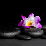 Spa concept of purple orchid dendrobium with dew on black zen st Royalty Free Stock Photography