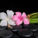 Spa concept of zen basalt stones, white and pink hibiscus flower Royalty Free Stock Photography