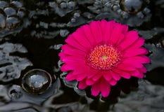 Spa Gerber Daisy. Spa rock and spring gerbera daisy flowers Stock Image