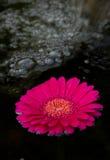 Spa Gerber Daisy. Spa rock and spring gerbera daisy flowers Stock Photography