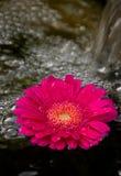 Spa Gerber Daisy. Spa rock and spring gerbera daisy flowers Stock Photos
