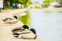 Spać kaczki Fotografia Royalty Free