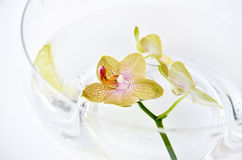 SPA orchid Royalty Free Stock Image