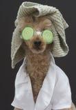Spa Ready Dog Stock Photo