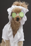 Spa Ready Poodle Royalty Free Stock Photos