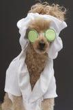 Spa Ready Poodle Royalty Free Stock Photos