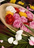 Spa roses. Rose (Rosa), a kind of flower which belongs to the rose-like family, includes over 200 species (according to some researchers up to a few thousands) Stock Images