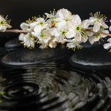 Spa set of zen stones, blooming fresh twig of plum with ripple Stock Photos