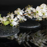 Spa set of zen stones, blooming fresh twig of plum with ripple Stock Photo