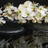 Spa set of zen stones, blooming fresh twig of plum with ripple Royalty Free Stock Images