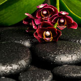 Spa still life of beautiful deep purple orchid flower, phalaenop Royalty Free Stock Photo