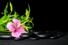 Spa still life of pink hibiscus flower and twigs bamboo on zen. Basalt stones with drops, closeup stock photo