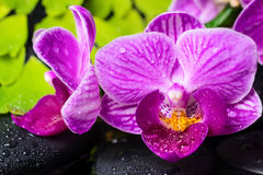 Spa still life of stripped violet orchid (phalaenopsis) Royalty Free Stock Photo